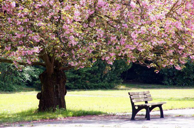 Eine Bank steht unter einem blühenden Kirschbaum an einem sonnigen Tag.